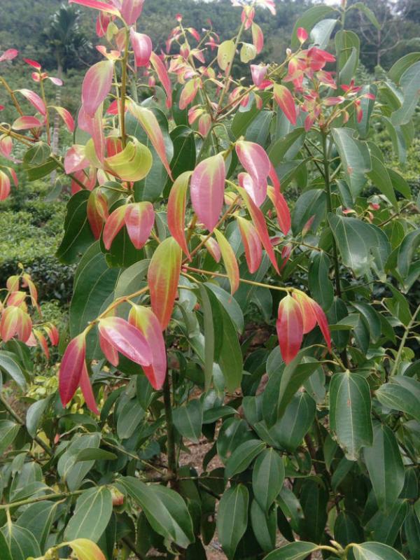 ceylon cinnamon plant