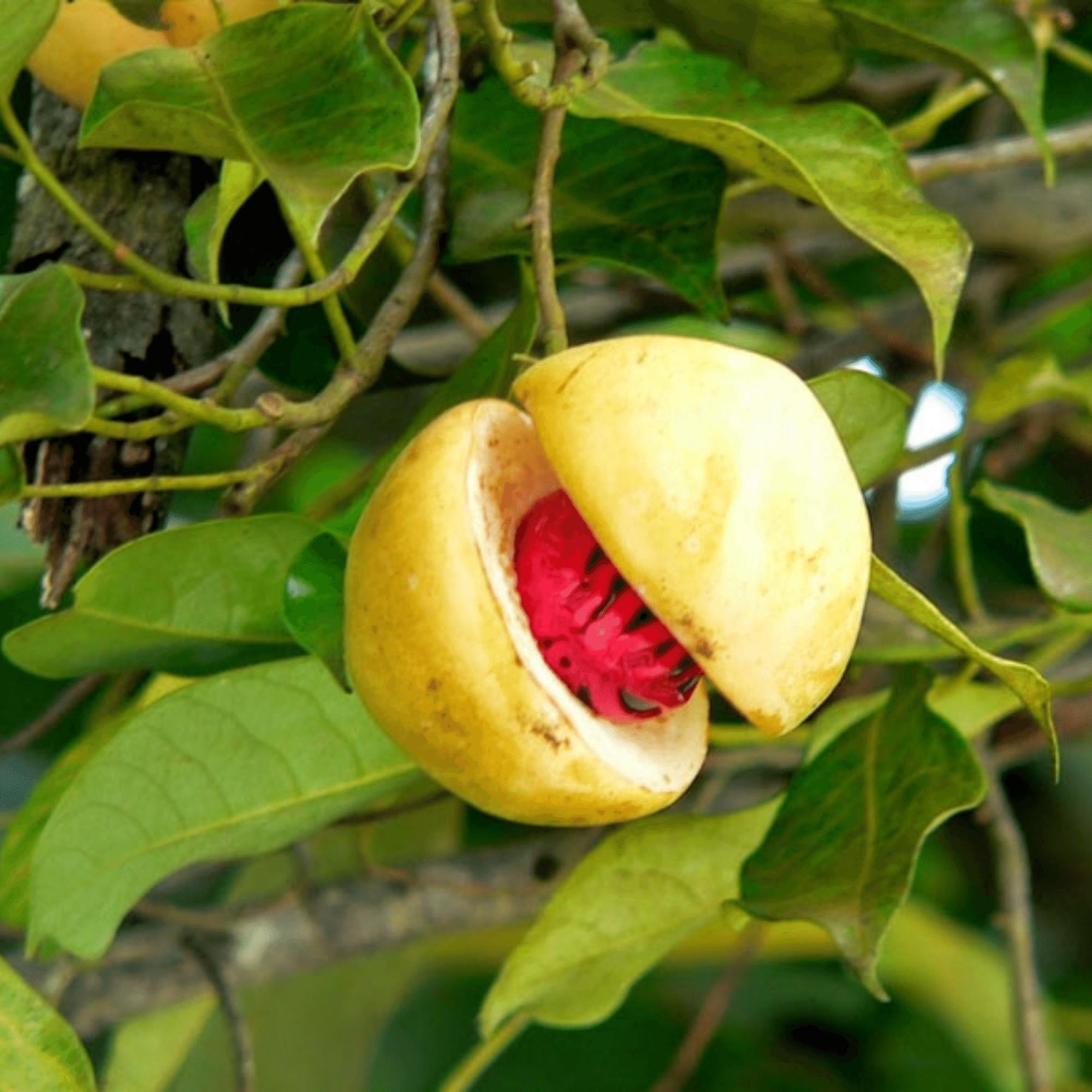 nutmeg mace plant